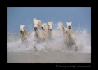 This picture of a Camargue horse herd in an entang in Southern France simulates an oil painting.