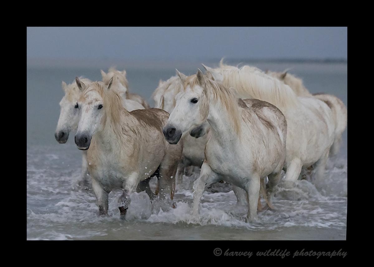 Camargue horse herd oil painting picture. This camargue horse picture was edited to resemble an oil painting.