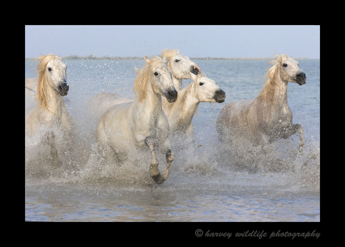 Picture of a herd of Camargue horses running through the delta in Southern France.