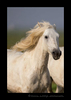 Picture of a Camargue Horse in a pasture in Southern France.