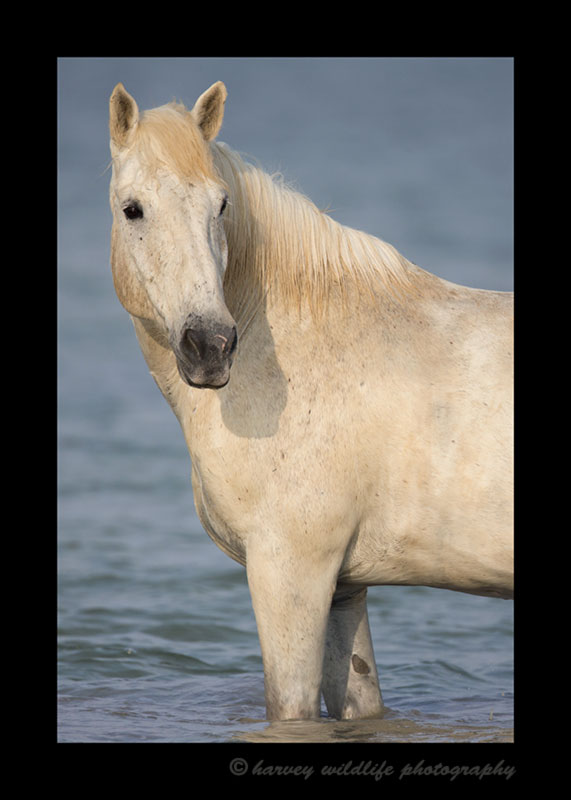 Photograph of a Camargue horse in the delta in Southern France.