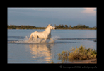 Picture of a Camargue horse running through a pond in the Camargue region of Southern France.