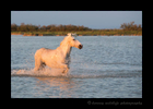 Photograph of a camargue horse walking through a pond in Southern France.