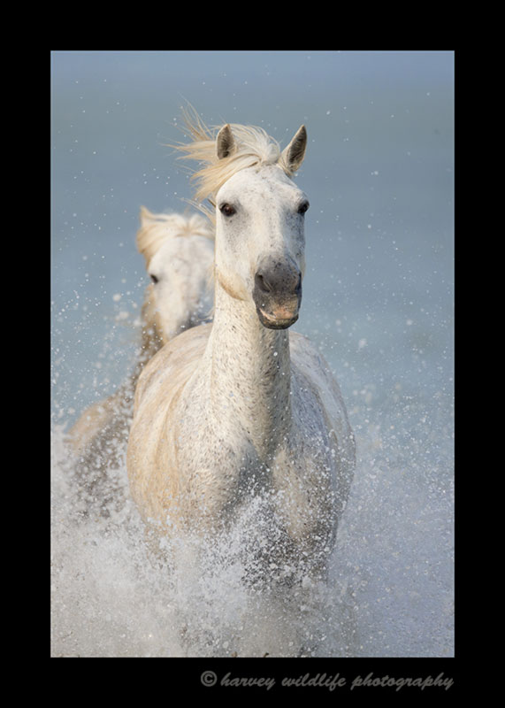Picture of a camargue horse splashing as he runs in the shallow waters of the delta in Southern France