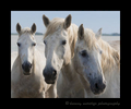 Picture of a three Camargue horse portrait, oil painting style in Southern France.