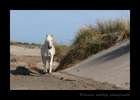 Picture of a Camargue horse in the sand dunes in Southern France.