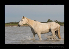 Photograph of a Camargue horse walking in a delta in Southern France.