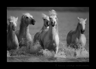 Black and white picure of Camargue horses in the Mediterranean delta in Southern France.