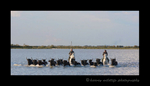 Picture of Guardians herding Camargue bulls on Camargue horses.