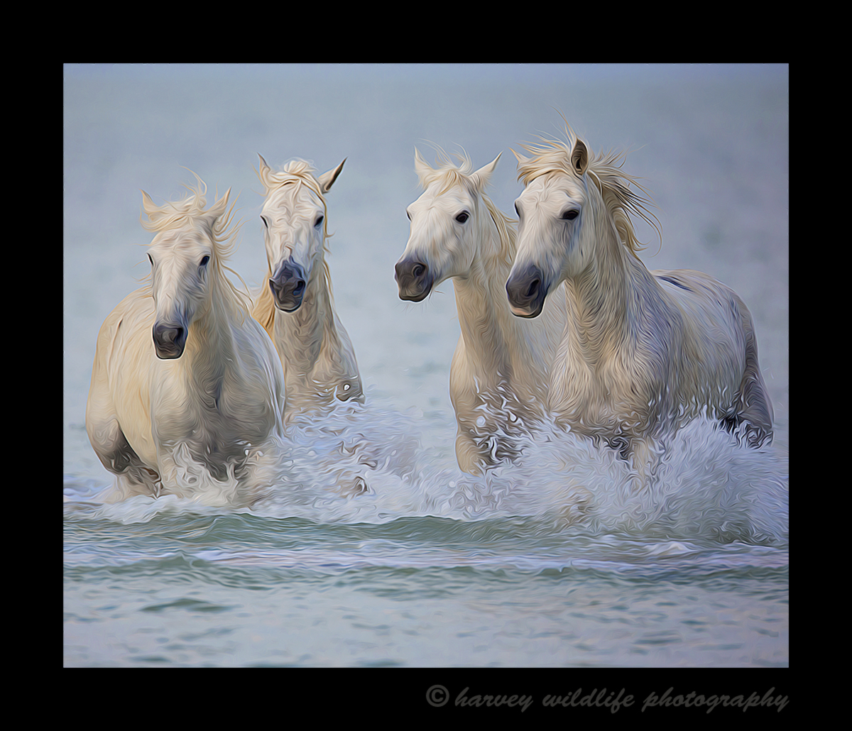Four Camargue horses running in the delta in Southern France. This version was edited to resemble an oil painting
