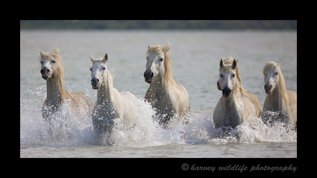 Picture of six Camargue horses galloping through a pond.