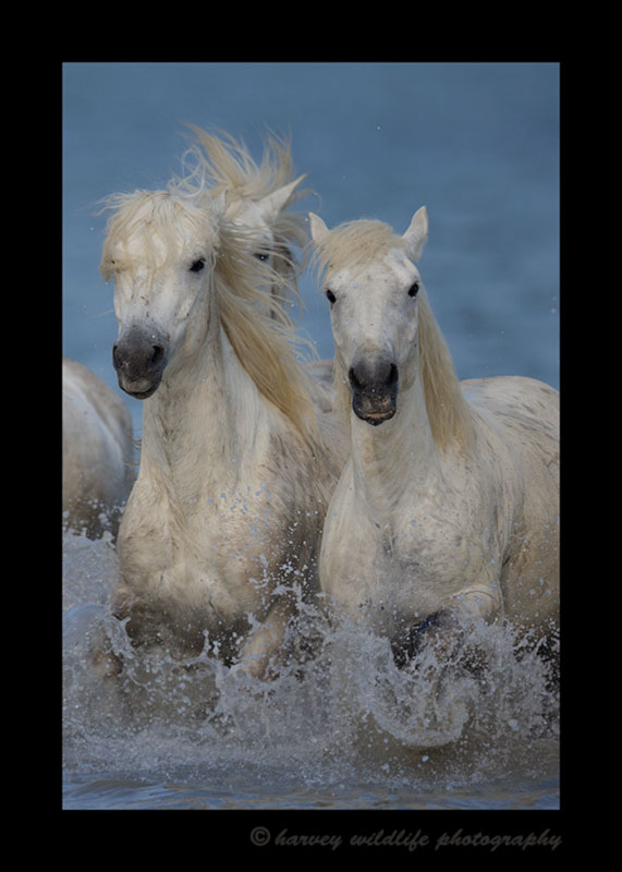 Picture of Camargue horses running in an entang in Southern France.