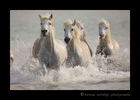 Photo of camargue horses galloping in the delta of the mediterranean ocean in Southern France.