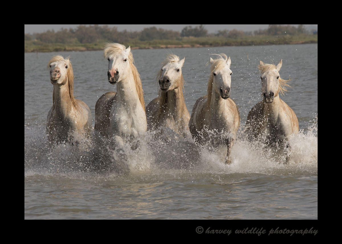 This image of Camargue horses running through a pond was taken in Southern France.