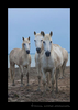 Picture of three camargue horses on the beach in Southern France. Horse photo by Harvey Wildlife Photography