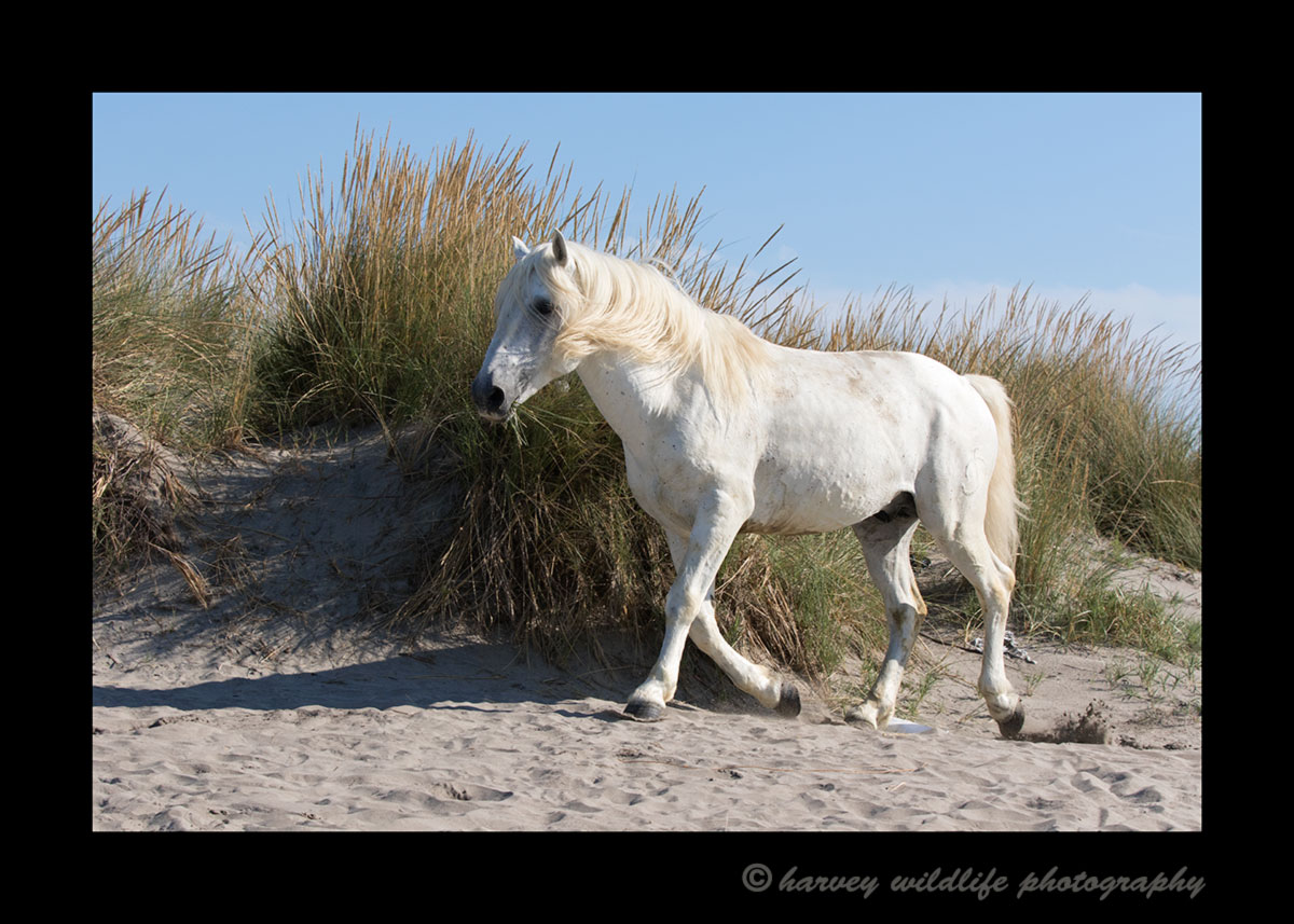 Picture of a stallion camargue horse amongst sand dunes in Southern France.