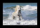 Picture of a Camargue stallion in the Mediterranean ocean.
