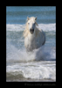 Photograph of a Camargue horse in the mediterranean ocean. This picture shows a stallion camargue horse running in the ocean in Southern France.
