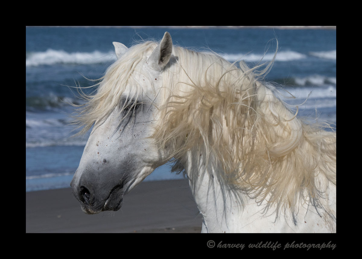Picture of a Camargue stallion on a beach in the mediterranean.
