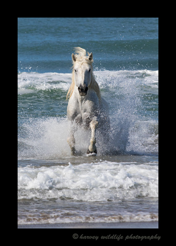 Picture of a Camargue horse running out of the Mediterranean ocean