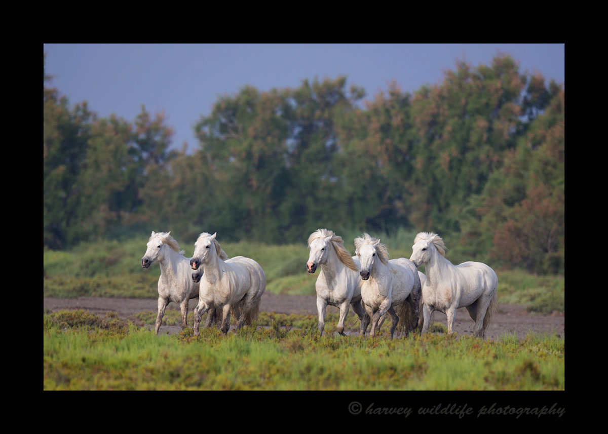 Photo of a Camargue horse herd in a pasture in Southern France.