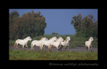 Photograph of a camargue horse herd in a pasture in Southern France
