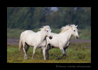 Camargue horses walking across the pasture.