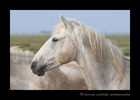 Picture of a Camargue horse profile in Southern France.