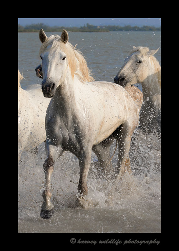 Camargue horse running on to the shore near Saintes Maries de la Mer.