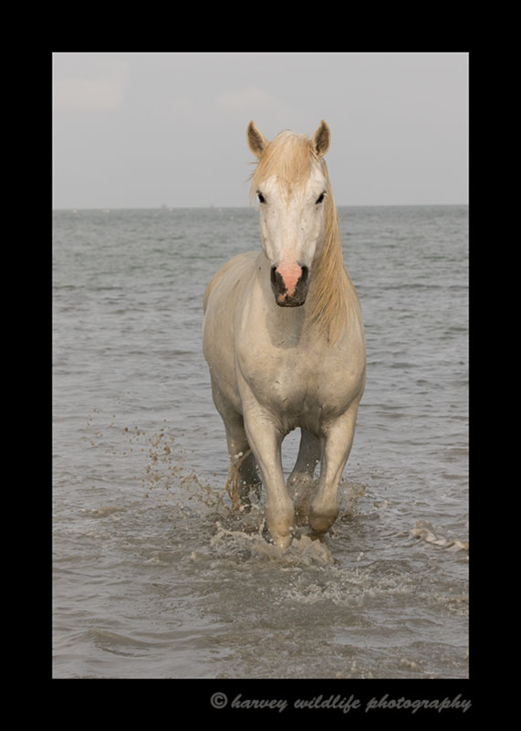 Picture of a camargue horse walking ashore in Southern France