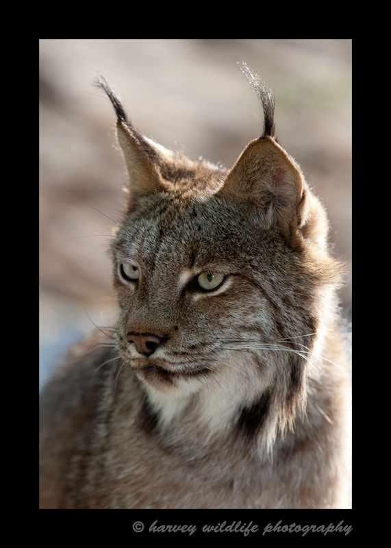 This Canadian Lynx is a wildlife model living in Minnesota.