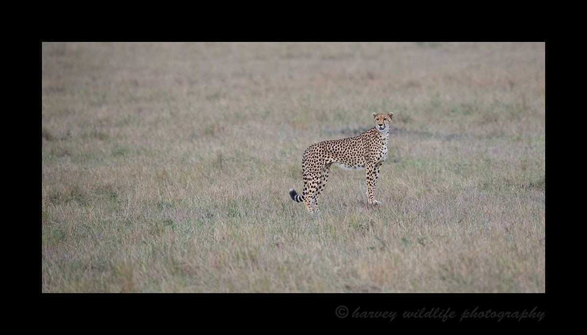 This cheetah named Amani had two ten month old cubs. We watched them on and off for two days as they tried to hunt in short grass. Finally although Amani missed her prey, the cubs found a baby impala. They ate the entire impala, bones and all within about 20 minutes.