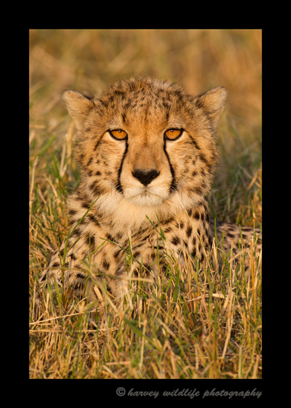 picture of eight month old cheetah cub at dusk in Masai Mara, Kenya