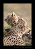 Picture of cheetah cub biting mom on a termite mound in Masai Mara, Kenya's national reserve.