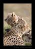 Picture of cheetah cub biting mom on a termite mound in Masai Mara, Kenya's national reserve.