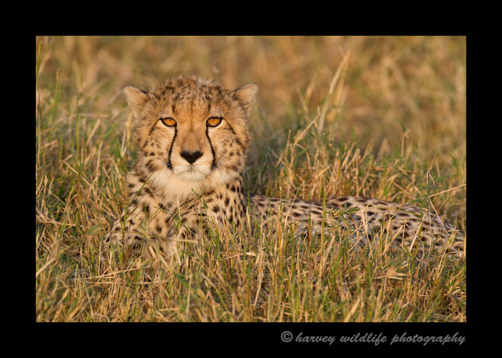 Our sighting of this eight month old cub wasn't long but the light was fantastic. He played with his mom for a bit, then posed for us in the great golden afternoon sun,