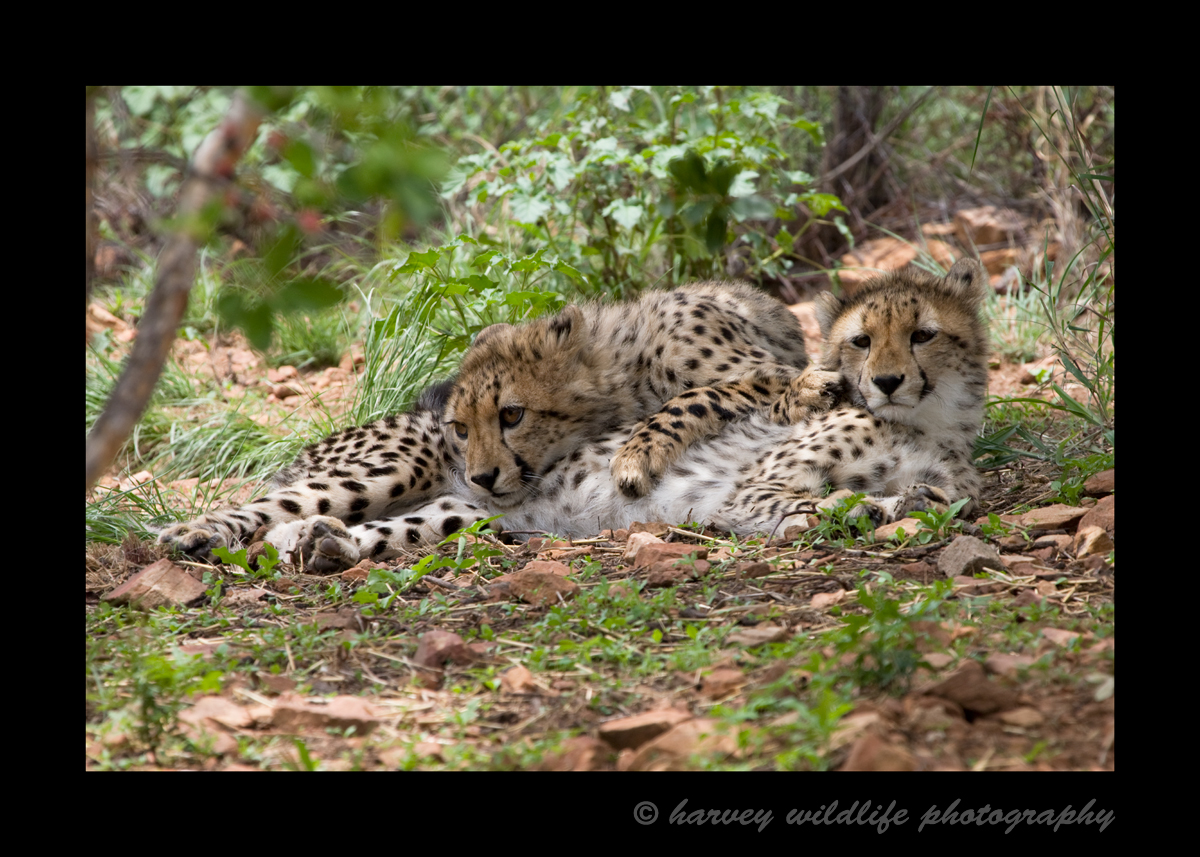 These twin cheetahs enjoy some cuddle time.