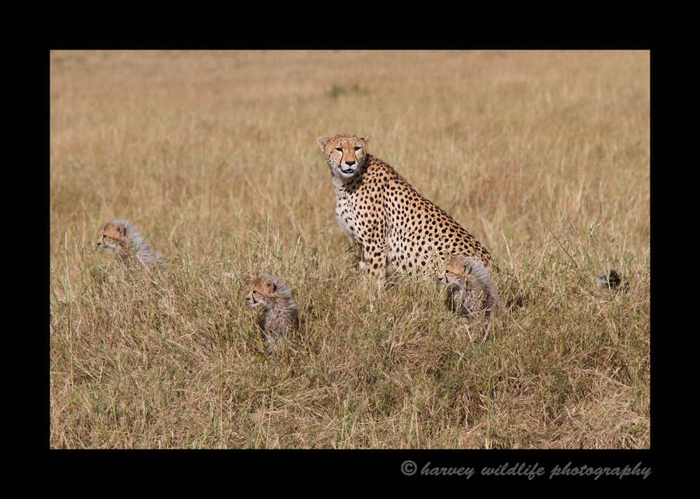 Cheetah-Family-IMG_8706