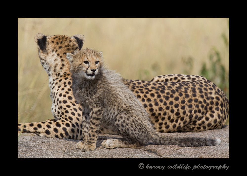 Picture of a cheetah mom and cub on a rock.