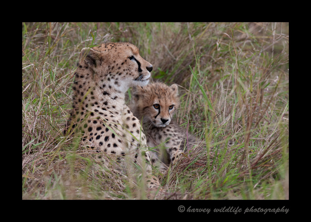 After hanging out in the vicinity of this cheetah mom and cub duo for several hours, we lost the light and they settled down in the tall grass for one last pose before went back to the lodge.