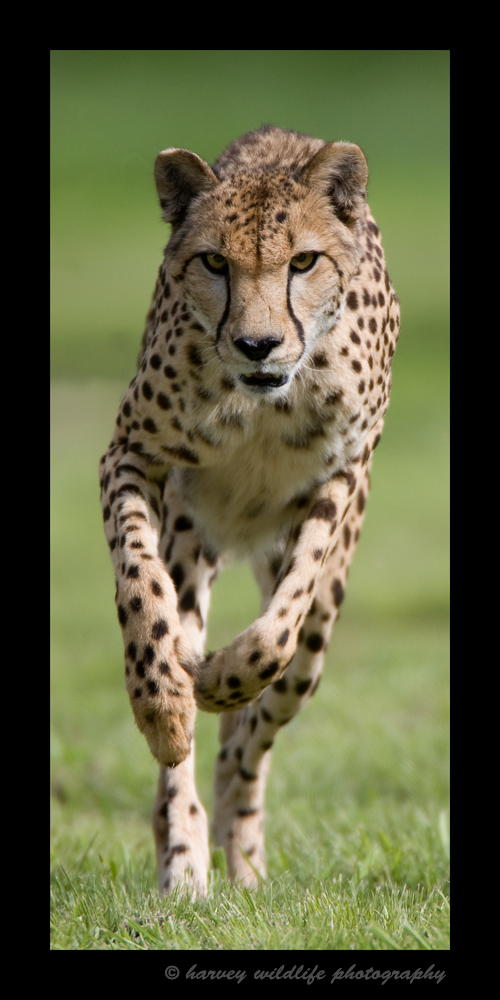 This cheetah lives in a cheetah sanctuary in South Africa. The sanctuary's purpose is to breed cheetahs and release them back into the wild as they are an endangered species. They are put on a running course chasing after a lure regularly to ensure they get their exercise. Charlotte here was chasing after a lure.