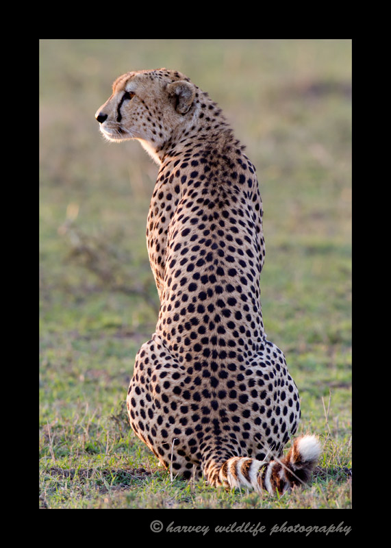 This cheetah is looking out over a field of wildebeast and impala thinking about what's for dinner.