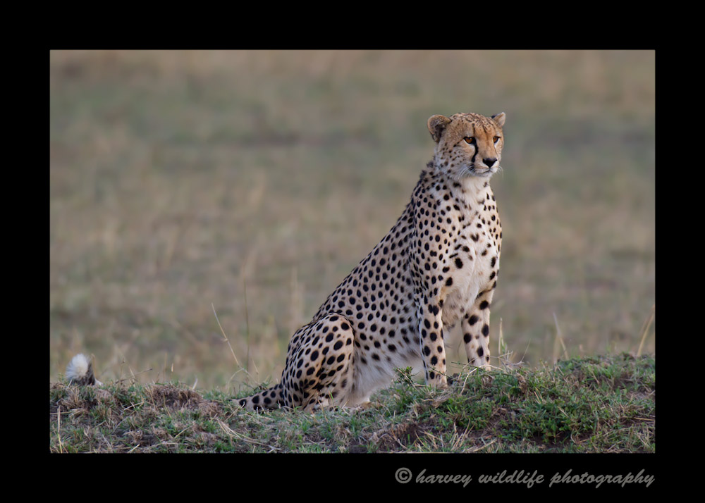 This cheetah just woke up from a long afternoon nap. He looks over a field full of wildebeast and starts thinking about dinner.