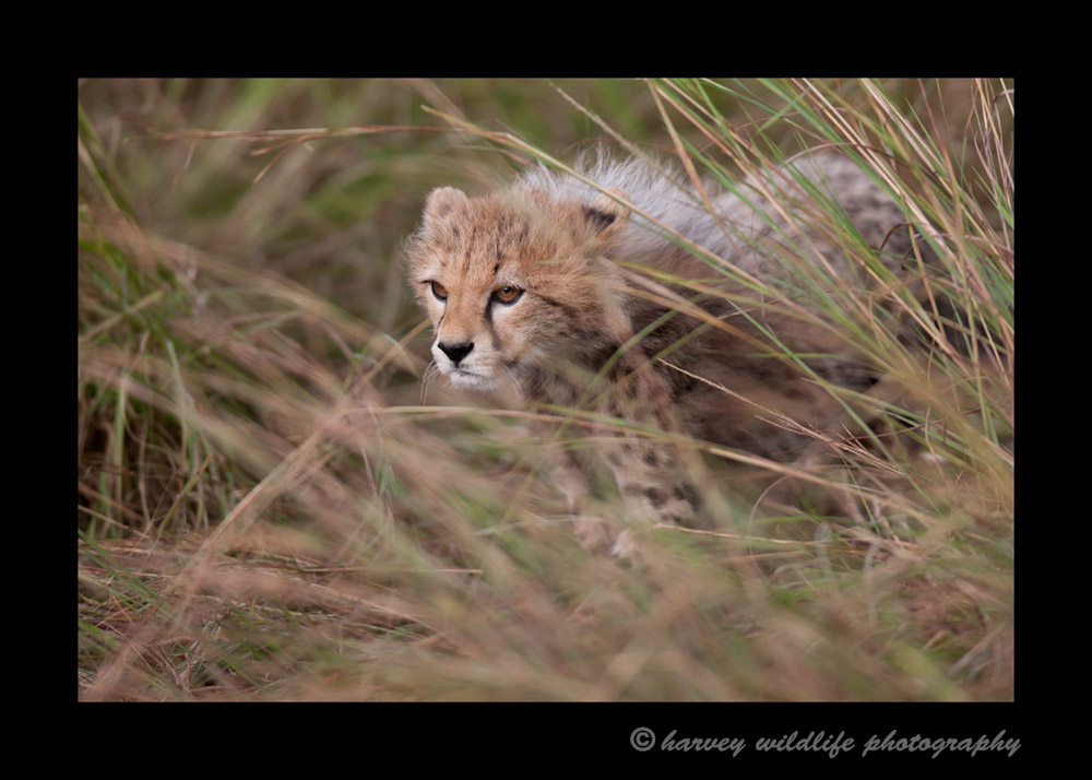 This little cheetah cub looks like he/she is on a mission manuevering through the short grass.