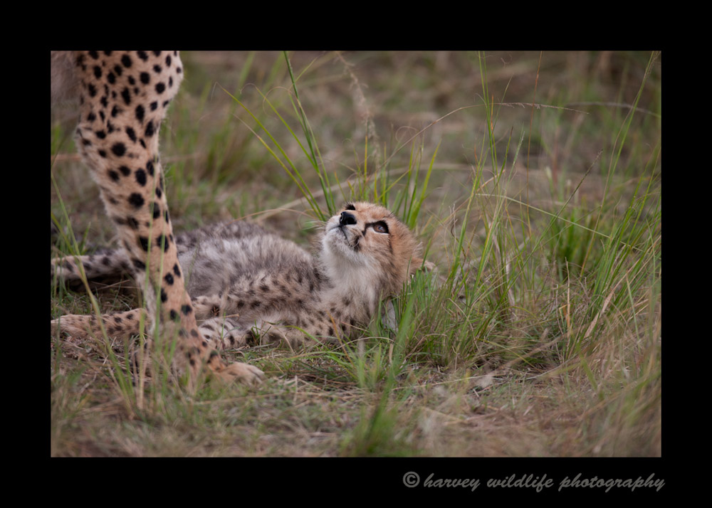 On our second day in the Mara, we saw this mother cheetah and her two month old cub. This was my first sighting of a cheetah cub.