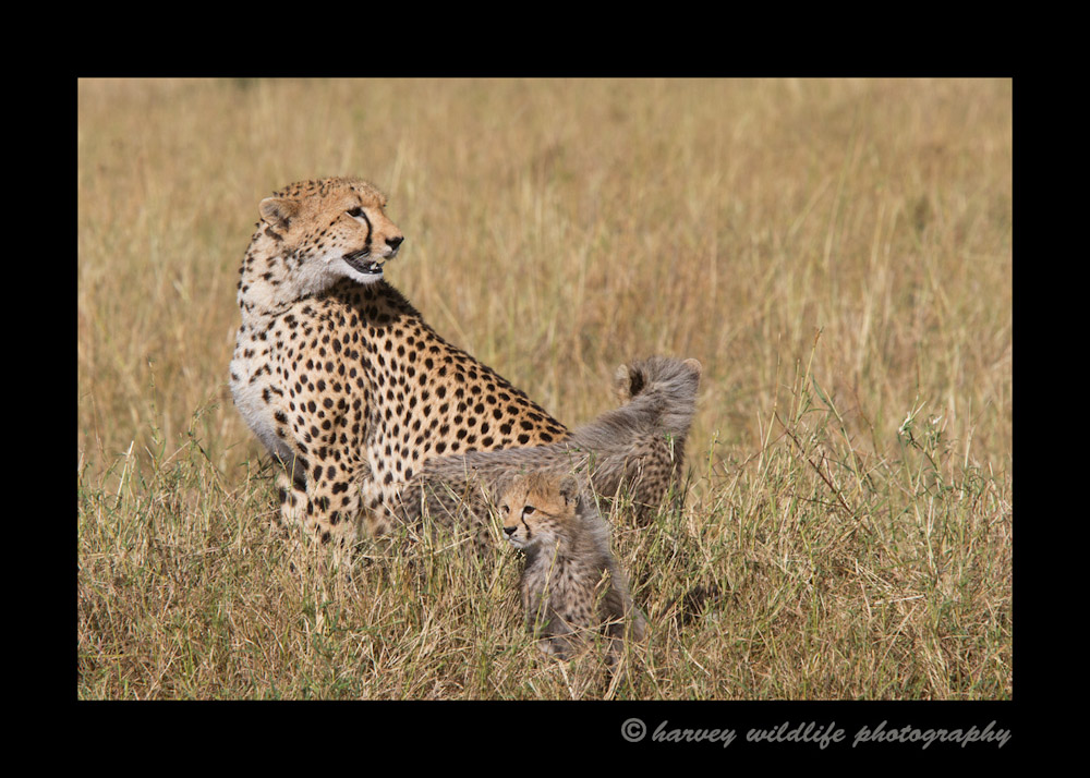 Cheetah-family-IMG_8735