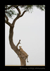Picture of Sierra, a cheetah climbing a tree in the Masai Mara National Park. Photo by Greg of Harvey Wildlife Photography.