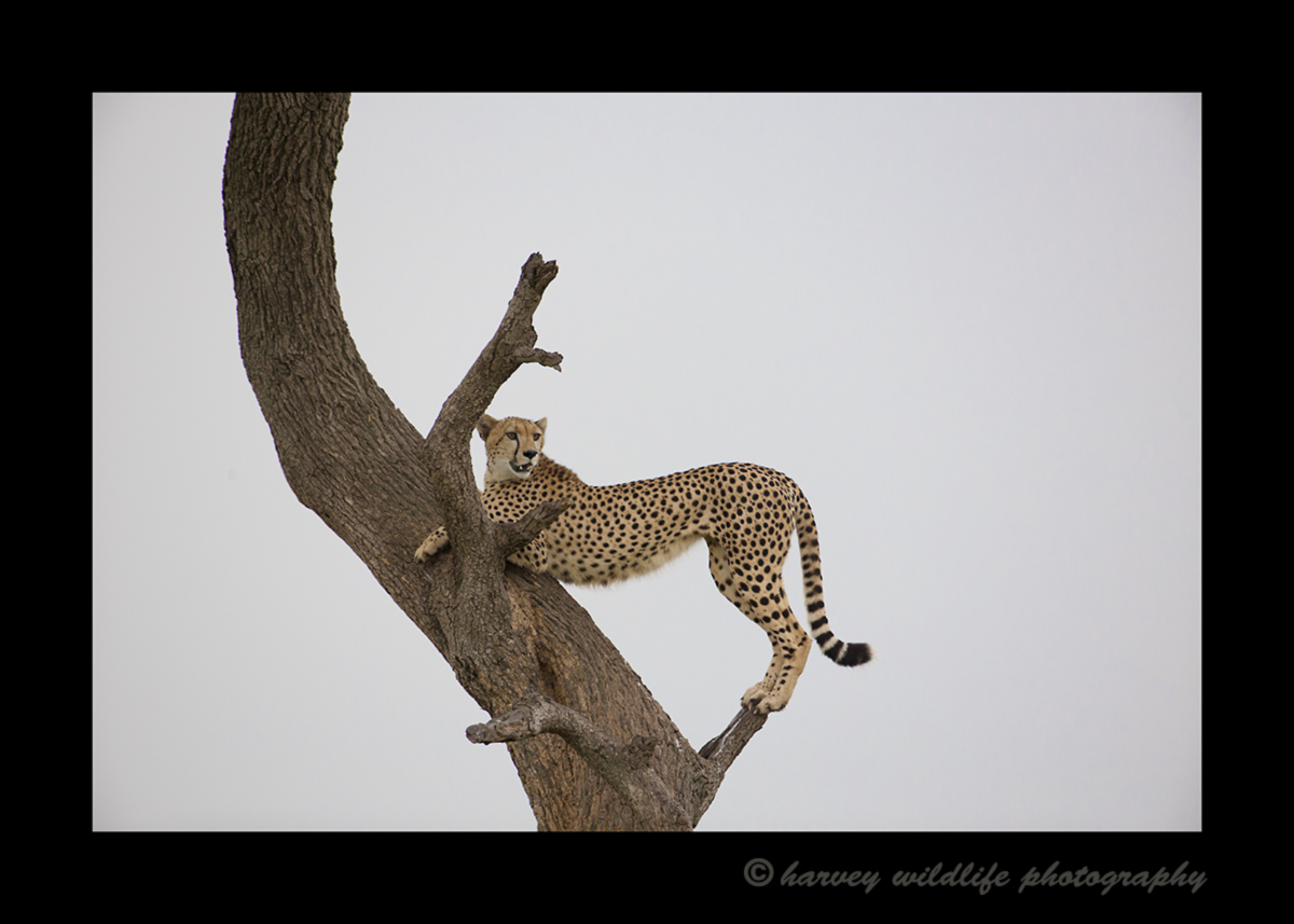 Picture, of Sierra, a cheetah in the Masai Mara National Park. She climbed a tree for a better vantage point. Photo by Harvey Wildlife Photography.