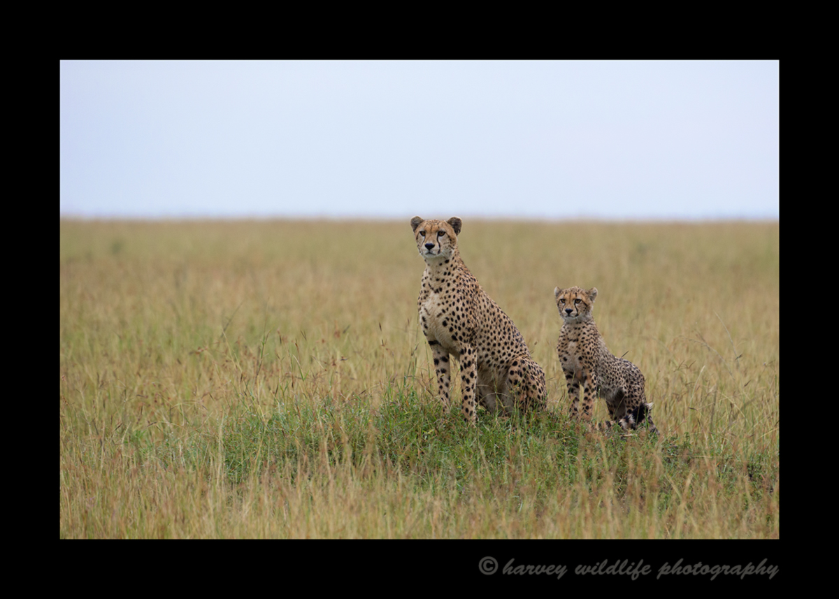 Picture of a cheetah mom and cub in the Masai Mara National Reserve in Kenya. Photo by Greg of Harvey Wildlife Photography.