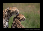Picture of a cheetah grooming her cub in the Masai Mara, Kenya. Photo by Harvey Wildlife Photography.